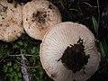 Lactarius tesquorum Malençon 399418.jpg