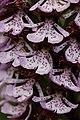 Lady Orchid - Orchis purpurea (14102553074).jpg