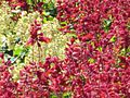Lamiaceae.jpg