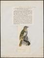 Laniarius vireo - 1700-1880 - Print - Iconographia Zoologica - Special Collections University of Amsterdam - UBA01 IZ16600469.tif