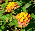 Lantana x Spreading Sunset.jpg