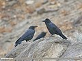 Large-billed Crow (Corvus macrorhynchos) (46701621305).jpg