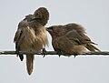 Large Grey Babbler (Turdoides malcolmi)- allopreening in AP W IMG 8029.jpg
