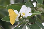 Large orange sulphur (Phoebis agarithe) male (1).jpg