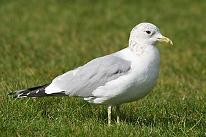 Common gull - Winter plumage
