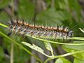 Lasiocampidae - Eriogaster catax.JPG