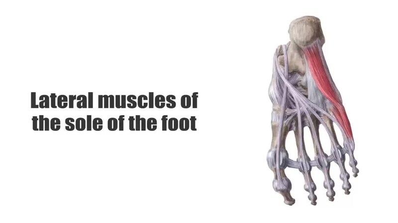 Filelateral Muscles Of The Sole Of The Foot Preview Human