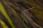 Lathrecista asiatica-Kadavoor-2016-07-05-001.jpg