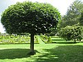 Laurel tree - geograph.org.uk - 1417175.jpg