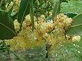 Laurus nobilis flowering branch 1.jpg