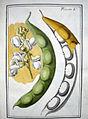 LeBerryais Haricots planche 01.jpg