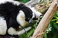 Lemur (27618386628).jpg
