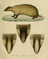 Leopold v. Schrenck - Meles leucurus.png