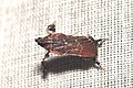 Lepidoptera (15455088364).jpg