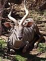 Lesser Kudo Tragelaphus imberbis.jpg