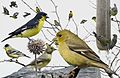 Lesser goldfinch From The Crossley ID Guide Eastern Birds.jpg