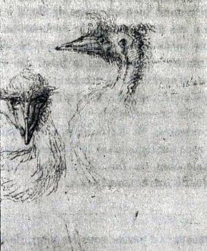 Kangaroo Island emu - life drawings of the emu from Kangaroo Island