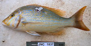 <i>Lethrinus nebulosus</i> species of fish