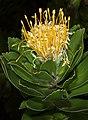 Leucospermum conocarpodendron subsp. viridum 1DS-II 1-C4546.jpg