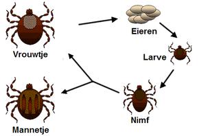 تحذير صحي مهم جدآ 290px-Life_cycle_of_ticks_family_ixodidae_nl.PNG