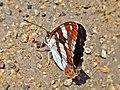 Limenitis reducta (Nymphalidae) (Southern White Admiral) - (imago), Narbolia (comuni), Italy - 2.jpg