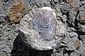 Lingula sp. (fossil brachiopod) in nodule (Rushville Shale, Lower Mississippian; Trinway West 6 Outcrop, Rt. 16 roadcut northeast of Frazeysburg, Ohio, USA) 2 (41559013844).jpg