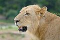 Lion (Panthera leo) young male (17135817727).jpg