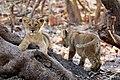 Lion Cubs of Asiatic Lion.jpg