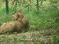 Lion from Bannerghatta National Park 8482.JPG