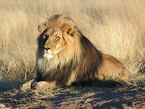 Big five game - Lion (Panthera leo)