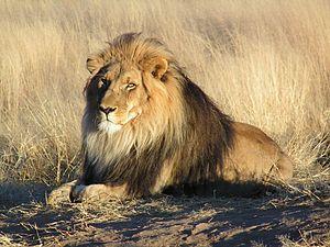 Big five game - Lion (Panthera leo)