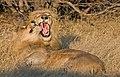 Lions (6195124075).jpg