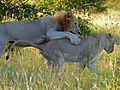 Lions (Panthera leo) foreplay (13950928181).jpg