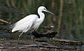 Little Egret, Egretta garzetta at Rietvlei Nature Reserve, Gauteng, South Africa (22370689427).jpg