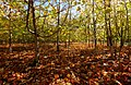 Little Wold Plantation IMG 2434 - panoramio.jpg