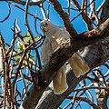Little corella at Boulia Wildlife Haven Herbert St Boulia Queensland P1030436.jpg