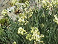 Locoweed Flower and Bee at Marmot Pass.jpg
