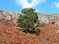 Lone Pine on Screel - geograph.org.uk - 1490841.jpg