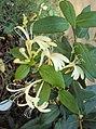 Lonicera japonica 03a.JPG