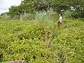 Lonicera japonica Thunb. (AM AK295108-2).jpg