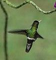 Lophornis helenae-2.jpg