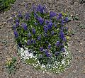 Lupine and Phlox - Flickr - brewbooks.jpg