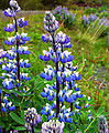 Lupins-in-Iceland-20030602.jpg