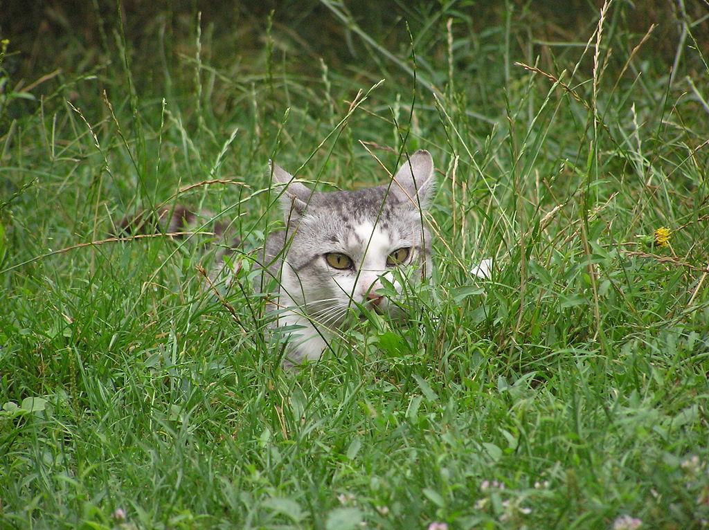 File lurking wikimedia commons for Sfondi gatti gratis