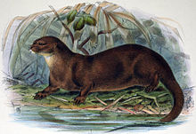 Hairy Nosed Otter Wikipedia