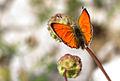 Lycaena ochimus.jpg