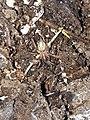 Lycosoides coarctata 14691647.jpg