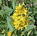 Lysimachia vulgaris or Yellow Loosestrife at Auchinleck, Ayrshire.jpg