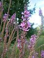 Lythrum salicaria RB2.JPG