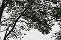 Maackia floribunda (22063859146).jpg